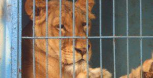 Circo-Chen-Lioness-3k-x-1550-734x375